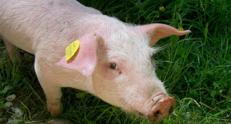 cochon moulin beynel bio